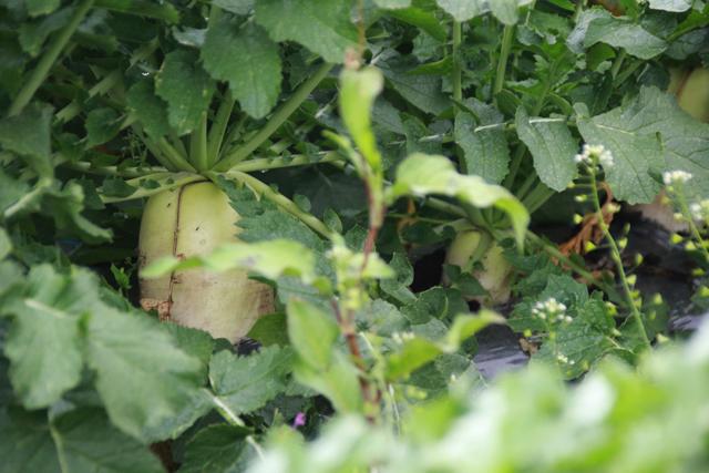 有限会社片平農産 鹿児島県曽於郡 野菜 求人